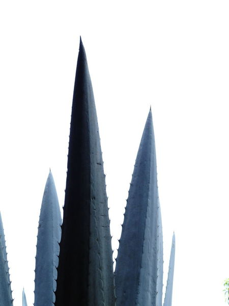 Cactus Maguey Mexico Nature Spikes Agave Agave Plant Background Blue Agave Close-up Flat Geometric Shape Monochrome Monocot Monocotyledon Overcast Pointy Tequila Thorns