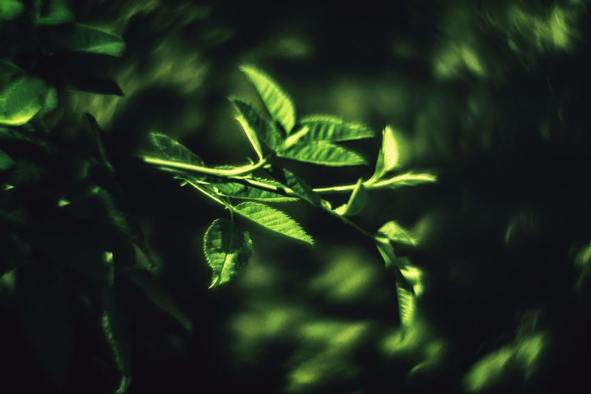20161009 - OneColor Onecolor Leaf Green Color Plant Close-up Growth Beauty In Nature Botany Plant Life Outdoors Springtime Nature Green Swirly Bokeh Swirl Bokeh Day Growing Fragility Selective Focus Freshness Focus On Foreground Tranquility No People