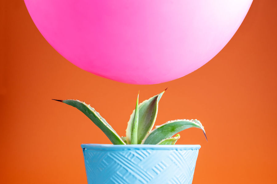 Cactus Flower Pot Green Color Juxtapose  Pink Precarious Balanced Balloon Blue Colored Background Counterpoint Hovering Opposites Orange Color Pointy Sharp