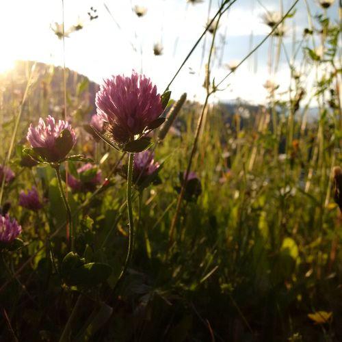 Austria Flower