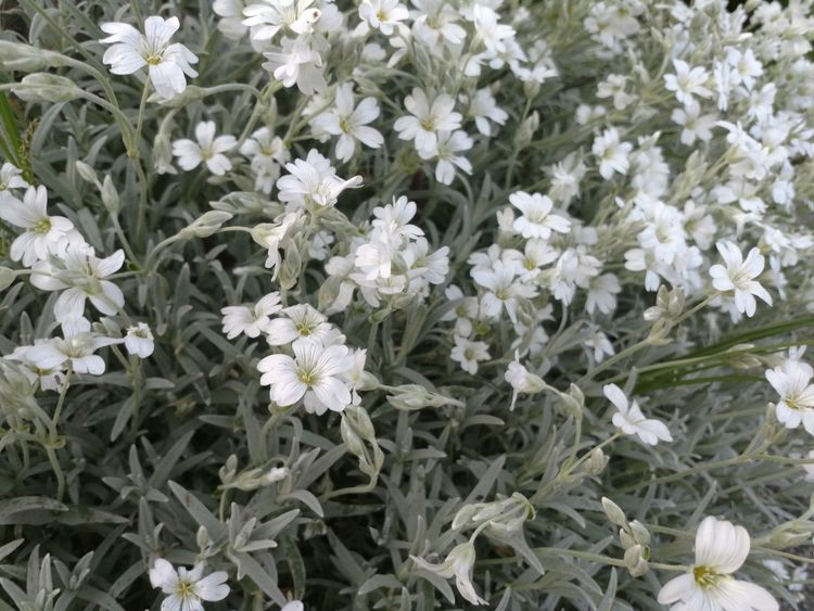 Flower White Color Growth Nature Fragility No People Plant Freshness Beauty In Nature Day Flower Head Close-up Outdoors