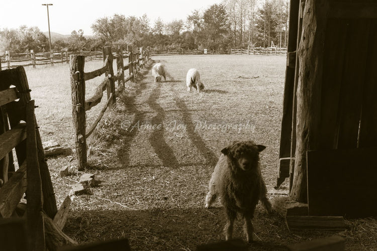 Sheep Farm #Adventure #farm #sheep #Tennessee #Titans  Animal Themes Day Livestock Nature No People Outdoors Pets