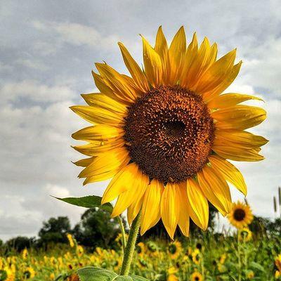 Nofilter Instagood Instadaily Instalike Flowers Summer Sunshine Sunflower Karnataka Thephotosociety Natgeo Natgeotravelpic Picoftheday Natgeo Everydayasia Love