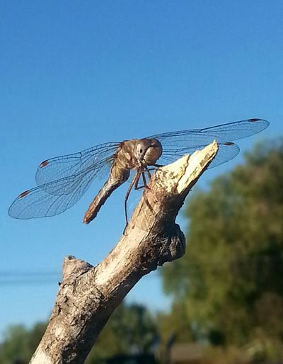 A beautiful meadow hawk Dragon fly perches atop a favorite resting spot in my garden! Beautiful Nature Nature Photography Country Living Nature On Your Doorstep Dragonfly Dragonflytreasures Dragonfly_of_the_day My Dragonfly Photo Insect Photography