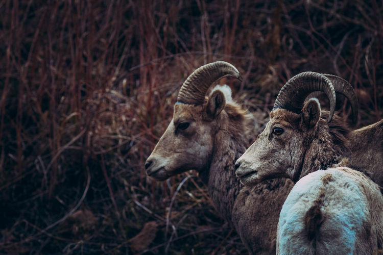 Animal Themes Animals In The Wild Big Ben Big Horn Sheep Close-up Focus On Foreground Nature No People Outdoors