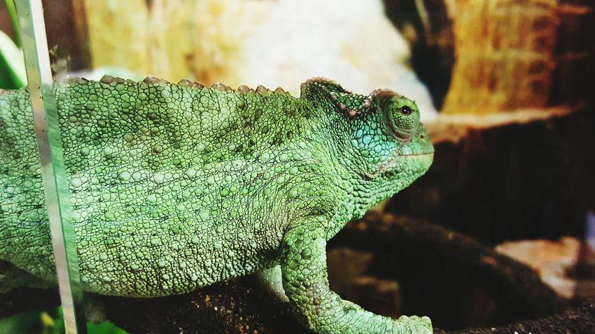 Pets Reptilelove Reptiles Petstore Green Color Dragon Closeup