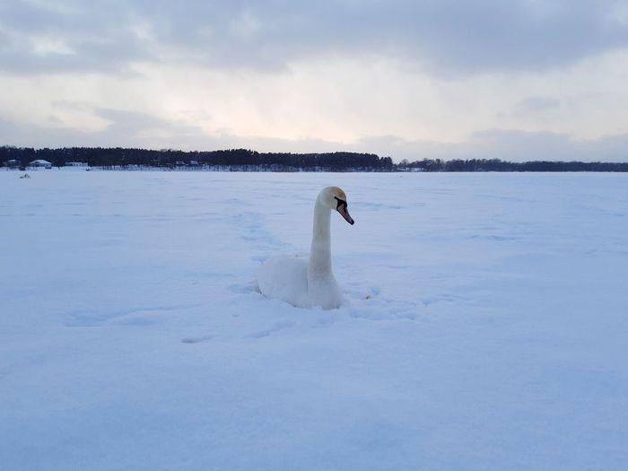 View of swan in lake against sky