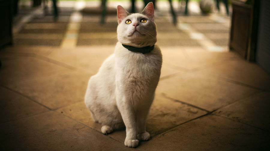 Portrait of white cat sitting on tiled floor