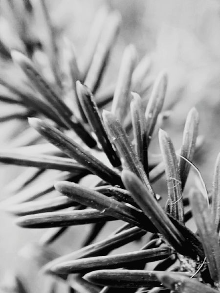 Growth Nature Close-up Plant Aloe Vera Plant Green Color Aloe Herbal Medicine Backgrounds Leaf No People Day Beauty In Nature Outdoors Needle - Plant Part EyeEmNewHere Nature Beauty In Nature EyeEm Nature Lover Huwei P9 Leica Lens
