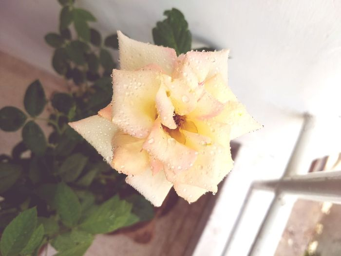 Rosé Whiterose Flower Head Flower Prickly Pear Cactus Close-up Blooming Petal Single Flower Single Rose Passion Flower