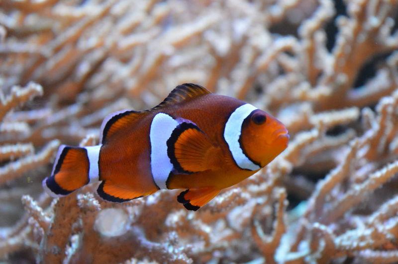 Close-Up Of Clown Fish Swimming