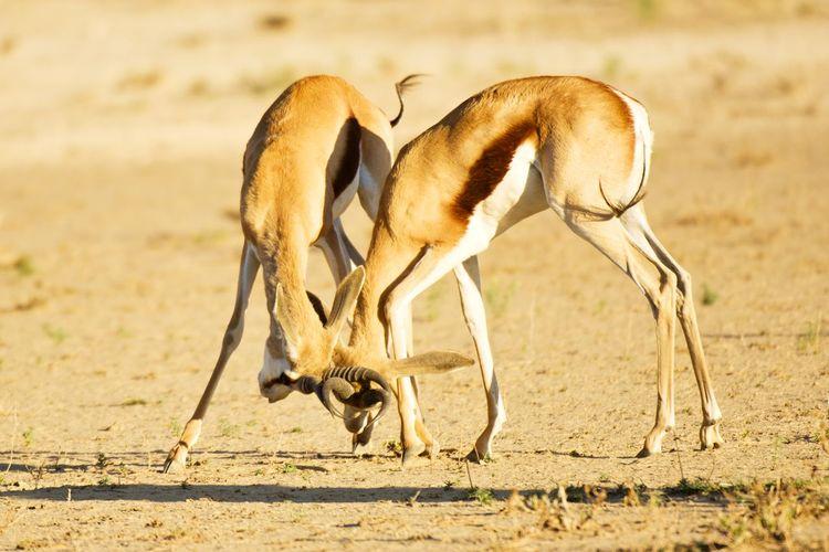 Springboks playing on grass