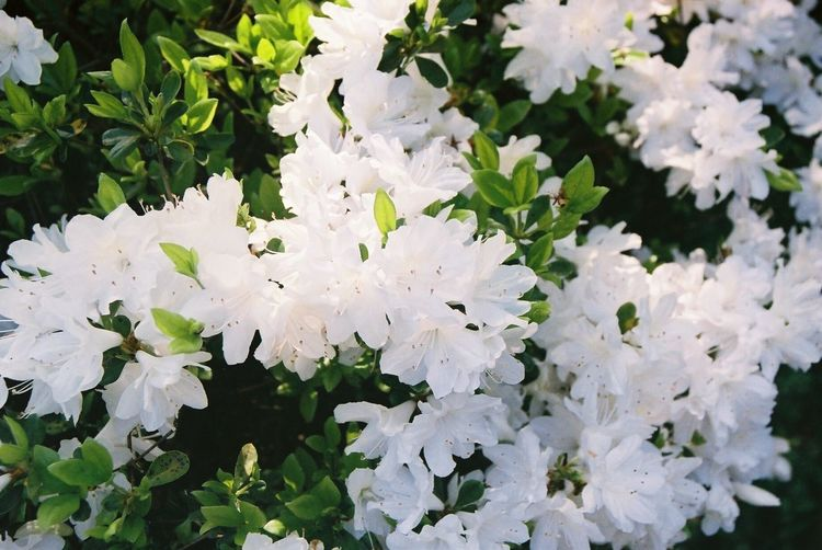 Flower White Color Beauty In Nature Fragility Petal Nature Freshness Growth Blossom Springtime Plant Blooming No People Flower Head Day Close-up Outdoors Film Film Photography Nature Japan Saga Mifuneyama Beautiful Beauty In Nature