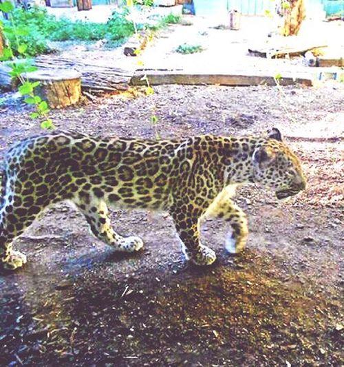 Leopard Nature Park  Senda Viva Dangerous Animal Taking Photos Crystal Clear Uniqueness