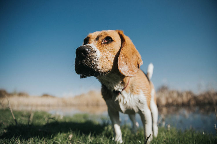 Grass Pet Portraits Adventure Animal Themes Beagle Beaglelovers Beagles  Blue Clear Sky Close-up Day Dog Domestic Animals Field Grass Lake Mammal Nature No People One Animal Outdoors Pet Pets Sky Standing