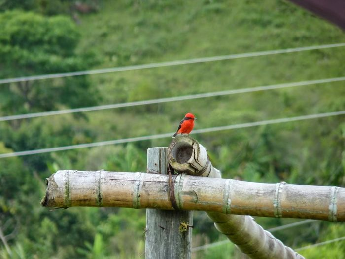 Red bird perching on wooden fence