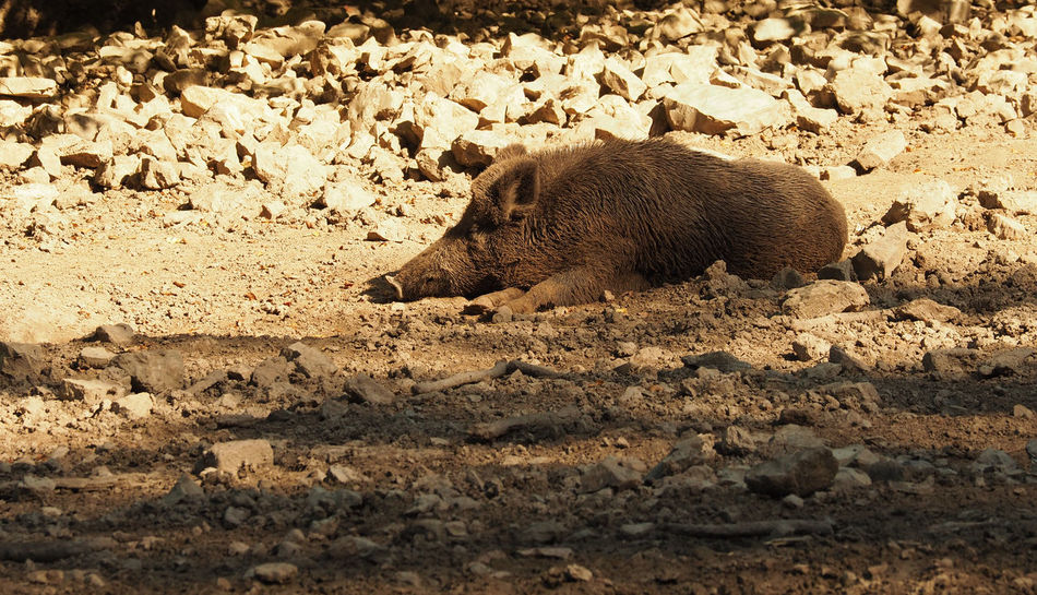 Wild boar resting Animal Animal Themes Animal Wildlife Animals In The Wild Boar Brown Day Have A Break Hedgehog Lazy Mammal Nature Nature No People One Animal Outdoors Pig Resting Sleeping Wild Boar Wildlife
