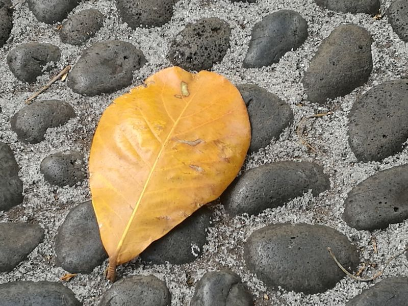 High Angle View Pebbles And Stones Outdoors Autumn Badamier Large Leaves Beauty In Ordinary Things Paint The Town Yellow
