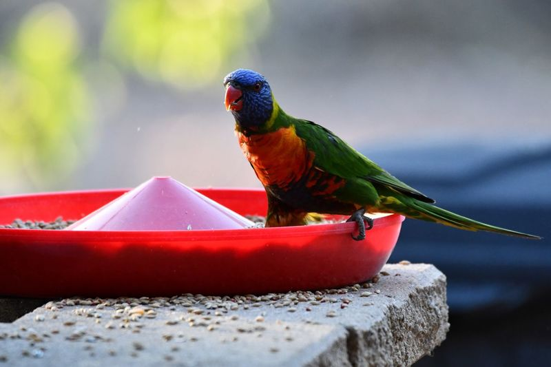 Animal Themes Animal Animal Wildlife Bird Animals In The Wild Vertebrate Parrot Nature Day Red Close-up Multi Colored No People Outdoors Full Length Focus On Foreground Rainbow Lorikeet Perching One Animal