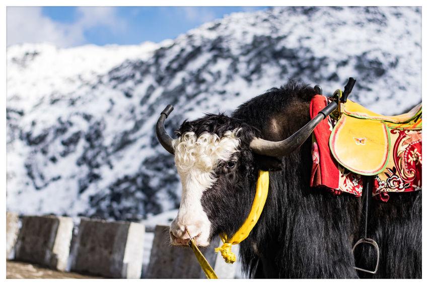 beast Travel India Sikkim Mountains Nikon Nikonphotography Natgeo EyeEm Selects Wildlife Potrait Eye Em Nature Lover Eye Em Nature Lover Eye Em Best Shots Eye Em Around The World Snow American Bison Mountain Animal Trunk Close-up Working Animal