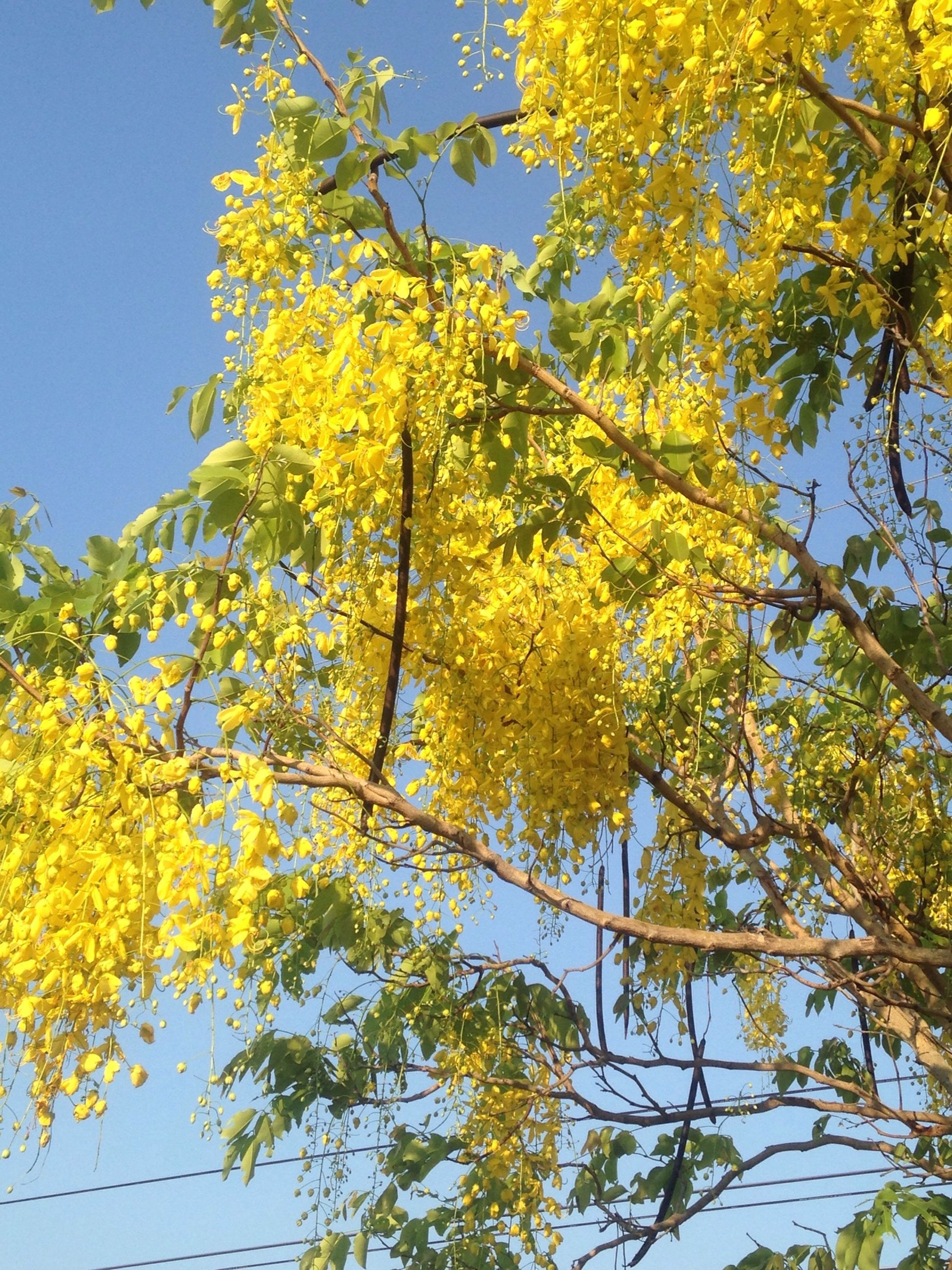 yellow, tree, branch, low angle view, growth, clear sky, autumn, nature, beauty in nature, change, leaf, season, flower, sunlight, day, freshness, sky, outdoors, tranquility, blue