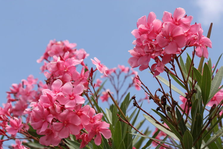 Close-up of pink flowers against clear blue sky