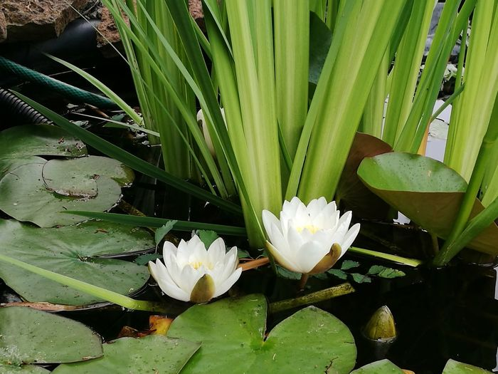 Waterlilly Flower Head Flower Water Lotus Water Lily Leaf Water Lily Petal Floating On Water Close-up Plant