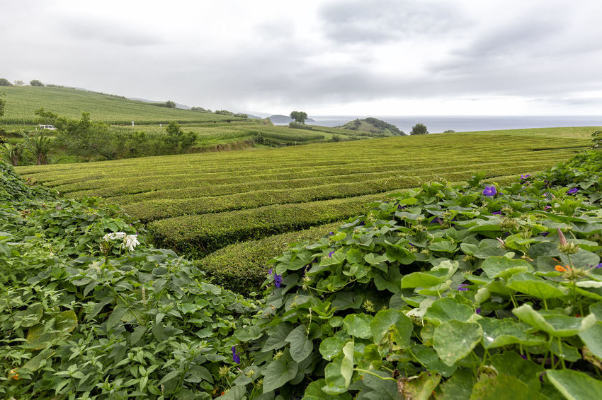 A grey day over rows of tea near Sao Bras on Sao Miguel in the Azores. São Brás São Brás Cha Gorreana Portugal Azores Sao Miguel Tea Green Black Production Factory Industry Rows Atlantic Europe Cha Gorreana Organic Leaf Agriculture Island Tourism Drink No People