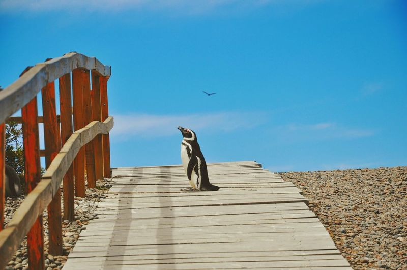 Penguin On Wooden Footbridge