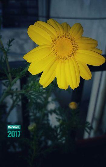 Yellow Flower Petal Close-up Flower Head Petals Nature Eyeemphotography Syria  Latakia