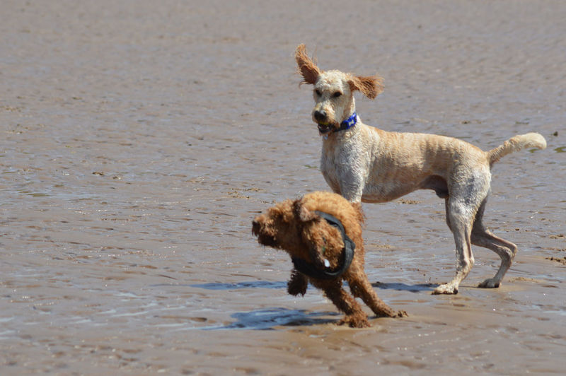 Cockapoo Animal Animal Themes Beach Canine Day Dog Dog On Holiday Dog On The Beach Dogs On Holiday Dogs On The Beach Dogs Playing At The Beach Domestic Domestic Animals Land Mammal Nature No People One Animal Pets Sand Vertebrate Water