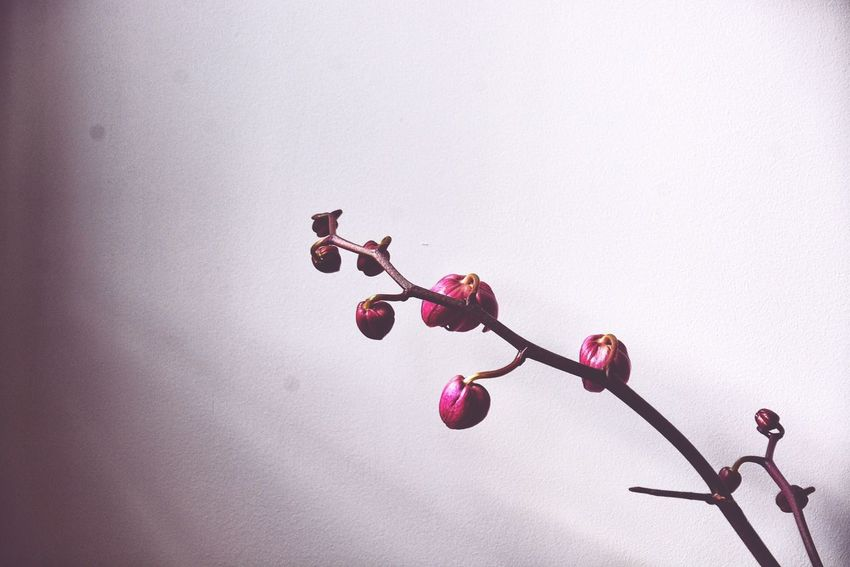It's about to bloom. Blooming Branch Close-up Day Decor Growing Growth Home Interior Magenta Orchid Pink Plants Ripe Stem Twig Color Palette