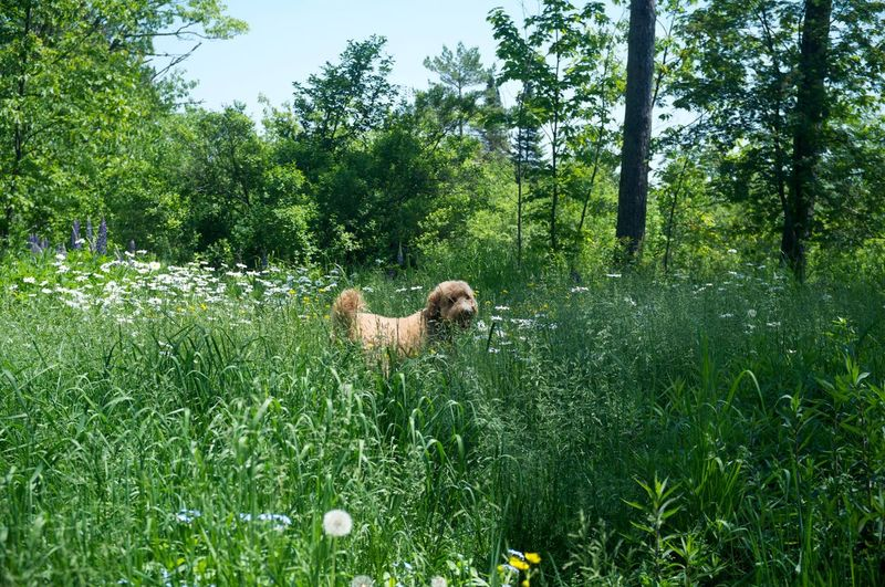 Goldendoodle standing on grassy field