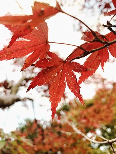 Autumn 🍁s everywhere! Nature_collection Naturelovers Nature Photography Maple Fall Naturelovers Travel Destinations Japan Plant Tree Red Branch Nature Leaf Plant Part Beauty In Nature Day Autumn Focus On Foreground No People Growth Close-up Change Outdoors Low Angle View Fragility Maple Leaf Tranquility