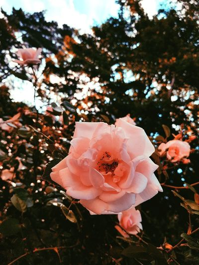 when you see them the background blurs Flower Head Flower Tree Petal Close-up Plant Sky Wild Rose Rosé Pink Flower Tree First Eyeem Photo