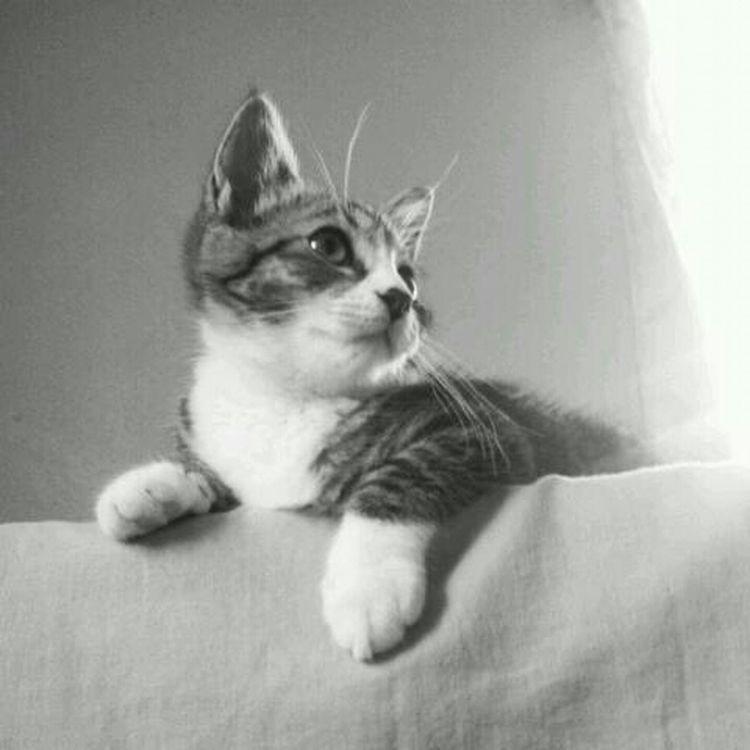 Cat Gato B&w