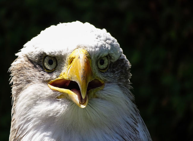 American Eagle Bald Eagle Bald Eagle Portrait Animal Head  Animal Themes Animal Wildlife Animals In The Wild Bald Eagle Bald Eagle Close-up Beak Beauty In Nature Bird Bird Of Prey Close-up Day Eagle - Bird Focus On Foreground Looking At Camera Nature No People One Animal Outdoors Portrait