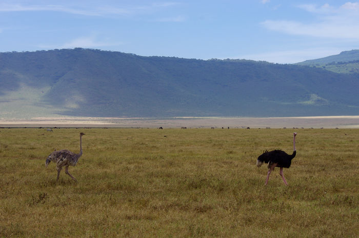 Africa Animal Themes Animal Wildlife Animals Animals In The Wild Animals In The Wild Beauty In Nature Bird Day Field Grass Landscape Landscape_photography Mountain Nature Ngorongoro Crater No People Ostrich Outdoors Scenics Sky Tanzania Wildlife Wildlife & Nature Wildlife Photography