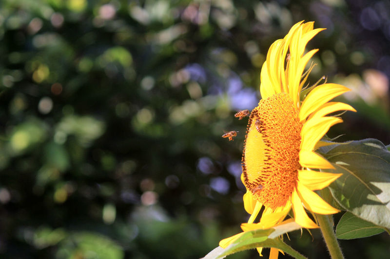 Sun Flower Pollination by Bee Bee And Flowers Bee 🐝 Beauty In Nature Botany Close-up Flower Flowering Plant Inflorescence Nature No People Petal Plant Pollen Pollination Yellow