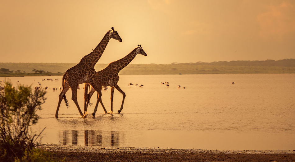 View of giraffe on land against sky during sunset