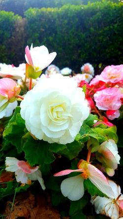 Flower Nature Plant Flower Head Freshness Beauty In Nature Close-up Petal Outdoors Summer Fragility Roses White Rose Innocence Park Flowers Cute Blossom Nature Rosé Beautiful Flowers Beauty In Nature Day