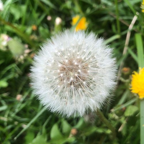 Dandy Fluffer Flower Plant Flowering Plant Dandelion Fragility Vulnerability  Freshness Close-up Growth Focus On Foreground Beauty In Nature Flower Head Nature White Color No People Day Softness Outdoors Dandelion Seed