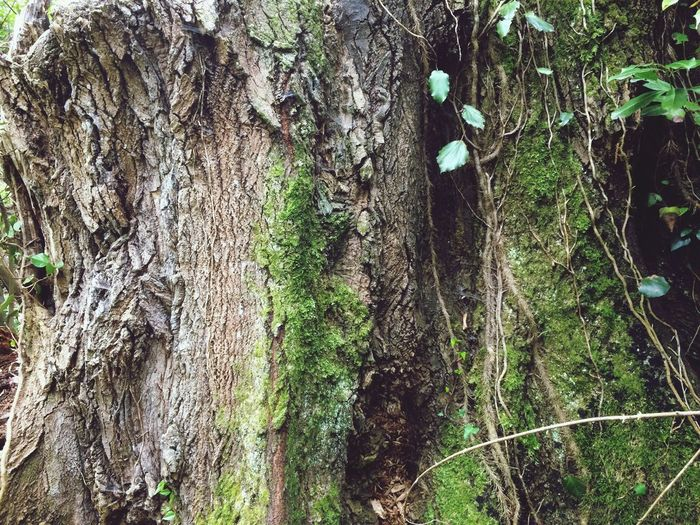 Tree Trunk Magic Forest Nature Is Art Giant Tree Point Of View Historical Monuments Bark Texture Beautiful Bark Tree Day Growth Nature Outdoors No People Textured  Bark Forest Moss Ivy Close-up Branch Beauty In Nature Fungus (null)Tropical