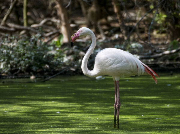 greater flamingo Birds Of EyeEm  Birdwatching Flamingo Greater Flamingo Phoenicopterus Roseus Bird Fenicottero Flamingos