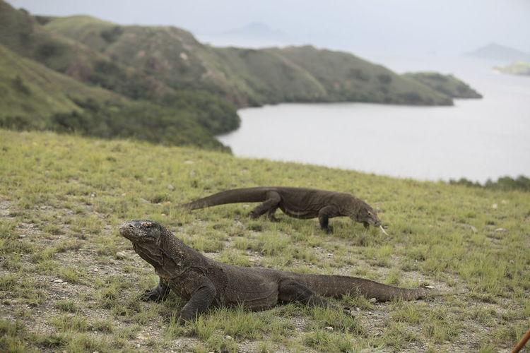 Komodo dragons on landscape