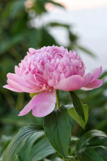 Mother's Day Chinese Peony Copy Space Green Natural Light Paeonia Beauty In Nature Blooming Blooming Flower Blossom Close-up Daylight Flower Focus On Foreground Fragility Freshness Lactiflora Mon Jules Elie Nature Outdoors Petal Pink Color Pink Flower Plant Rose Scent Spring