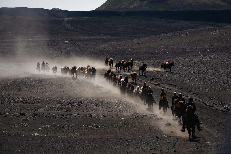 Icelandic horses of the highlands