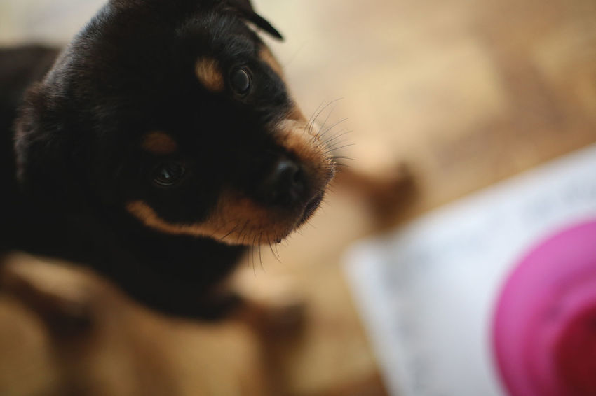 Rottie - Dogs Animal Themes Close-up Dog Domestic Animals One Animal Pets Puppy Rottweiler Pet Portraits