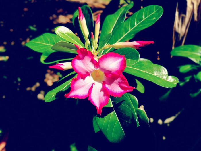 Flower Fragility Beauty In Nature Petal Pink Color Leaf Plant Nature Freshness Growth Red Outdoors Close-up Day No People Flower Head Black Background