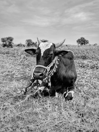 bells on bulls neck. Bull Working Animal Agriculture Agriculture Photography Bells Rural Scene EyeEmNewHere Sky Close-up Cultivated Land Farmland Bale